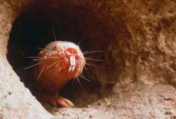 Las ratas topo desnudas invaden otras colonias y secuestran a los bebés para convertirlos en esclavos
