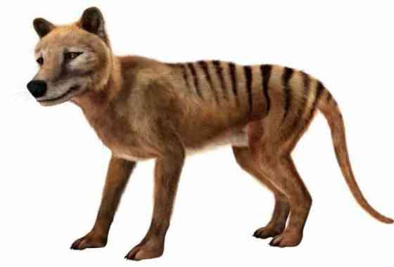 Se encuentra vídeo perdido hace mucho tiempo del extinto tigre de Tasmania