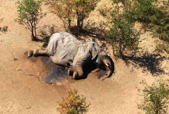 Misteriosa muerte masiva de elefantes en Botswana fue causada por envenenamiento por cianobacterias