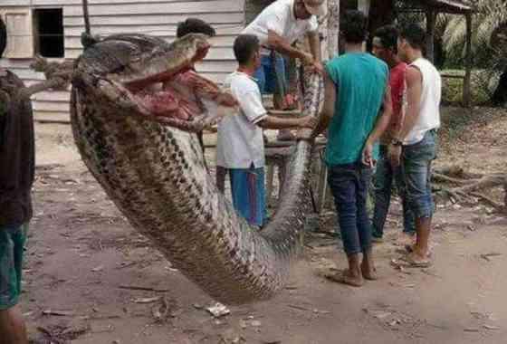 Gigantesca pitón muerta en Indonesia después de atacar a un hombre