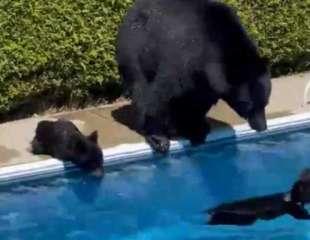 Osos se bañan en la piscina de un jardín para escapar de la ola de calor de Canadá