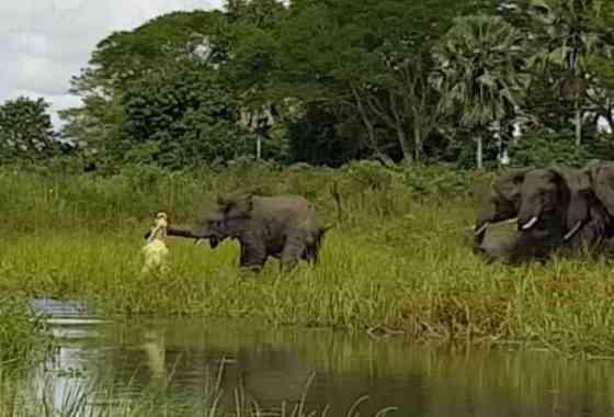 Elefante bebé es dolorosamente mordido en la trompa por un cocodrilo