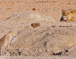 Leopardo obligado a huir después de toparse con una leona