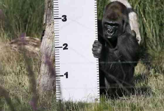Gorila escapa de un zoo y celebra su breve libertad tomándose un sirope
