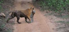 Tigre mata a leopardo en escaramuza en carretera