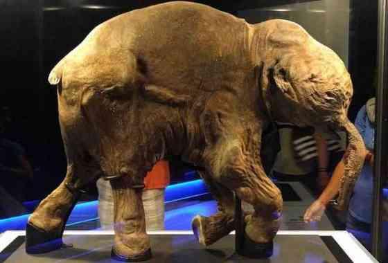 El mamut bebé congelado 'Lyuba' va a Australia
