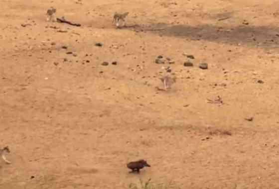 Espectacular demostración de velocidad de un jabalí huyendo de unos leones
