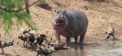 Drámatico tira y afloja de un hipopótamo con una jauría de perros salvajes