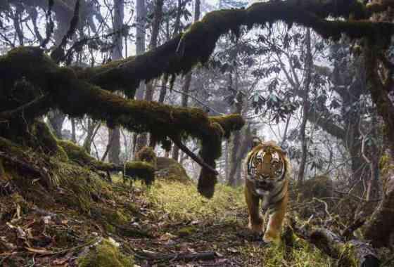 Imágenes extremadamente raras de tigres salvajes en Bhután
