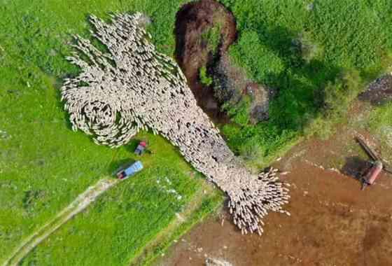 Bienvenido al fascinante (y relajante) mundo del pastoreo de ovejas en timelapse