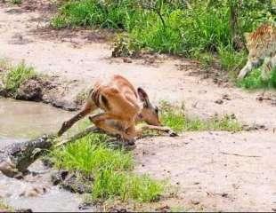 Dramáticos momentos: Impala escapa de las fauces de un cocodrilo para acabar en las garras de un leopardo