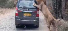Peligroso encuentro cercano con leones