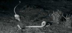 Rata canguro hace un espectacular salto ninja para escapar de una serpiente de cascabel