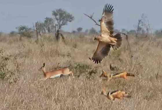 Antílope huye de unos chacales mientras un águila ataca por el aire