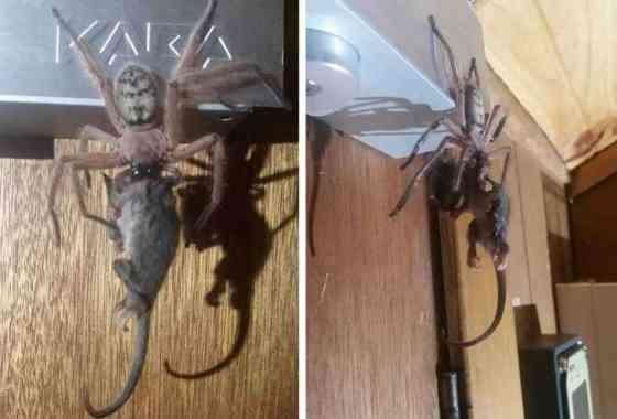 Espeluznante espectáculo: Araña devorando una zarigüeya
