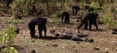 Impactante vídeo muestra cómo los chimpancés lidian con un tirano