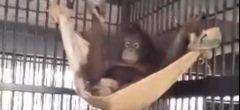 Intrépido orangután se construye a sí mismo una acogedora hamaca