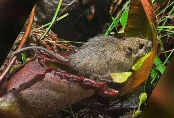 Esta planta carnívora evolucionó para ser también un inodoro para roedores
