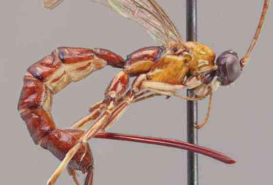 Aguijón gigante de nueva especie de avispa pone huevos dentro de arañas