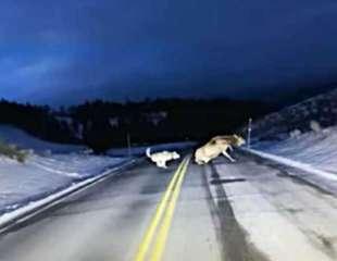 Alce cruza una carretera con los lobos de Yellowstone en su persecución
