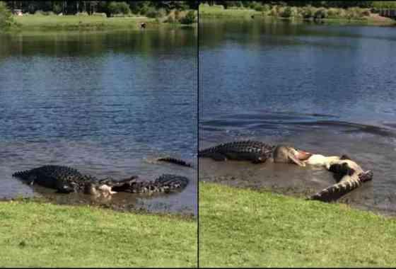 Dos cocodrilos luchando nos recuerdan que la naturaleza es temerosa como el infierno