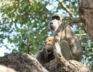 ¿Adoptó este babuino a un cachorro de león?