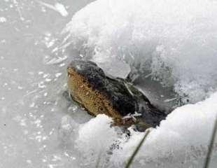 Caimanes en Oklahoma sobreviven al agua helada sacando fuera su hocico