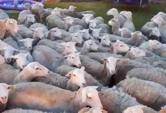 Enorme rebaño de ovejas invade un jardín privado