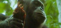 Chimpacés cazan y se comen a un mono