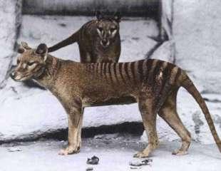 El tigre de Tasmania pesaba solo la mitad de lo que se pensaba