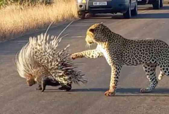 Leopardo aprende por las malas por qué no se debe molestar a los puercoespines