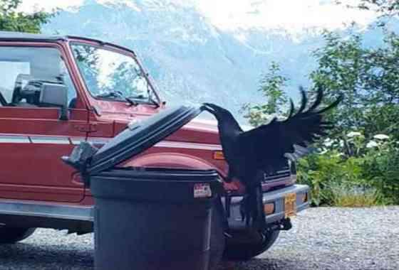 Un cuervo resuelve problemas y abre un cubo de basura