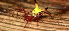 ¿Por qué esta araña tiene un trasero de dibujos animados?