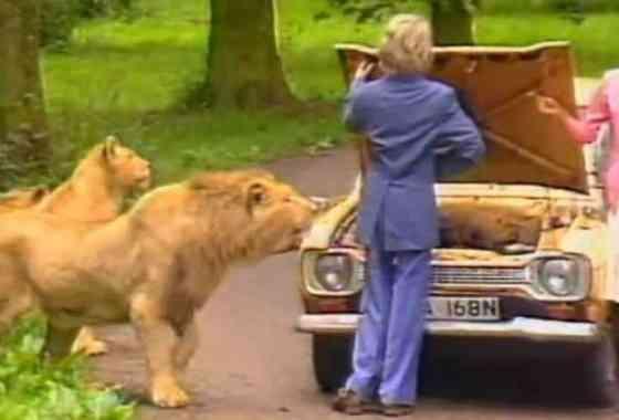 Safari park safety: vídeo de 1987 muestra que los leones son peligrosos (especialmente si eres un maniquí)