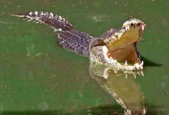 Pájaro escapa de un halcón... pero acaba en las fauces de un cocodrilo