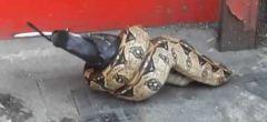 Vídeo de una boa constrictor devorando palomas en una calle de Londres