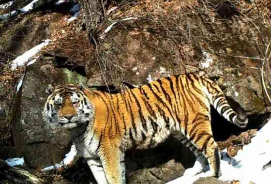 Tigre de Amur y leopardo visitan la misma cueva con unos días de diferencia