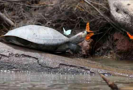 Mariposas beben lágrimas de tortuga en un impresionante vídeo