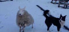 Esta oveja piensa que es un perro