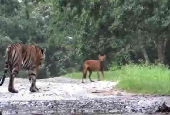 Perro salvaje asiático tiene un encuentro con un tigre de Bengala