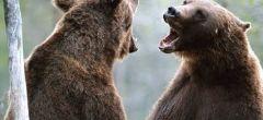 Impresionante vídeo de dos osos luchando por dominar