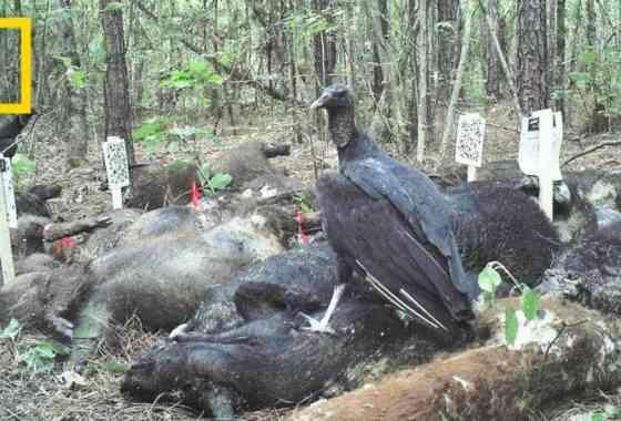 Esto es lo que sucede cuando tres toneladas de cerdos muertos se pudren en los bosques