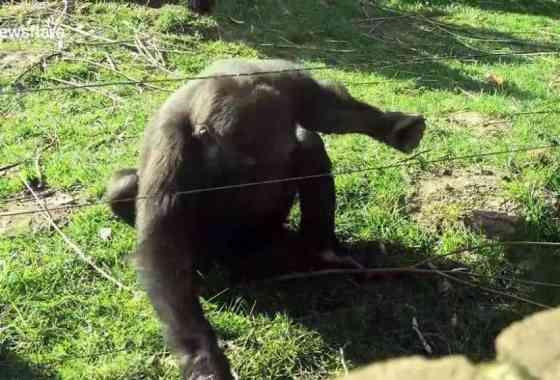 Gorila descubre cómo pasar por una cerca eléctrica, y comienza a golpear la ventana del zoológico