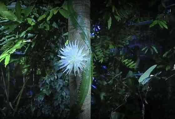 Observa cómo florece un súper esquivo cactus de flor de luna en este hermoso y raro lapso de tiempo