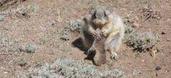 Los lindos perros de las praderas son asesinos en que serie están devastando a las ardillas de tierra