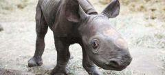 Nace en Nochebuena un increíblemente raro rinoceronte negro