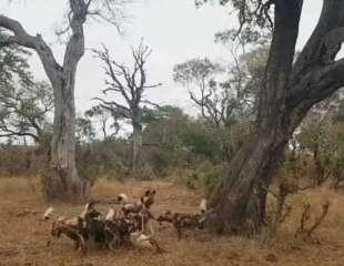 Licaones y hienas roban la presa a un leopardo