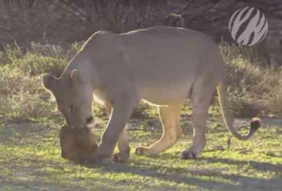 Juguetones cachorros de león usan a una tortuga como un juguete de masticar