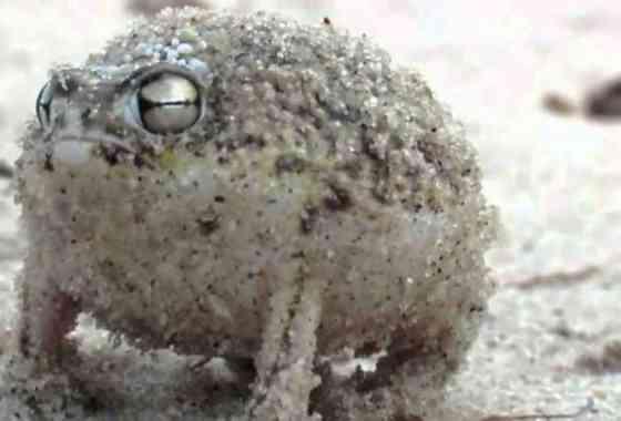 Esta rana grita cuando se asusta