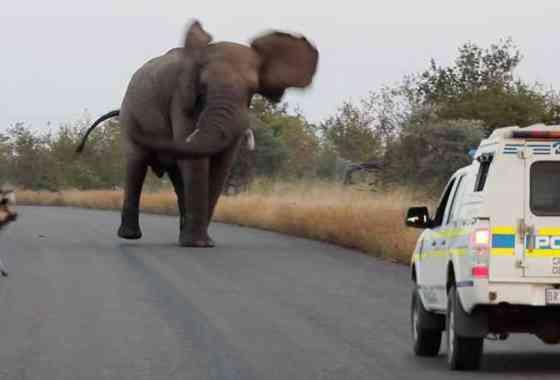 Alguien enloqueció a este elefante
